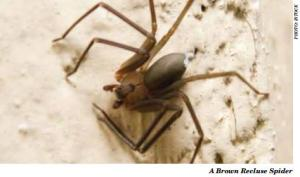 brown recluse spider issue 112