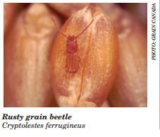 Rusty Grain Beetle.jpg