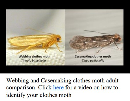 clothes moth comparison