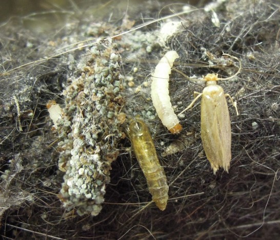 Clothes Moth Adult and Larvae